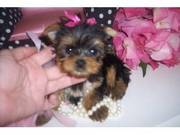 Magnificant Yorkshire Terrier puppies for adoption