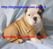 Outstanding English bulldog and Boxer Puppies