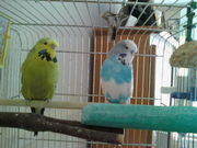 two budgies free to a good home
